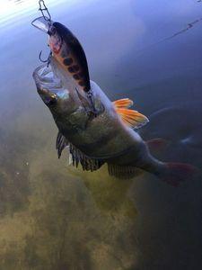 European Perch — Olivier fisherman