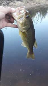 Smallmouth Bass — Clement Lacome