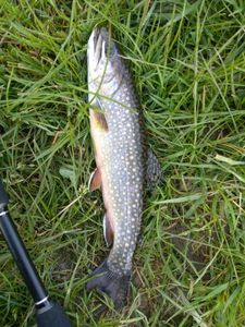 Brook Trout — Yann  Guyennot