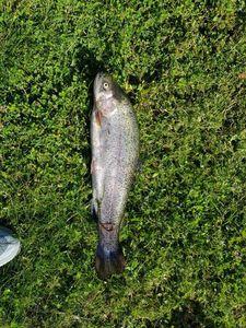 Rainbow Trout — Steed De Carvalho