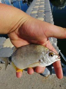 Annular Seabream — Adrien fishingriverandsea