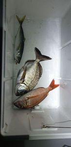 White Seabream — Tom Porcuna