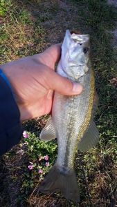 Largemouth Bass — Eric Bar