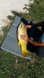 Common Carp — Alexandre Lavoivre