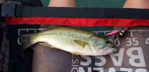 Largemouth Bass — Axel Marchal