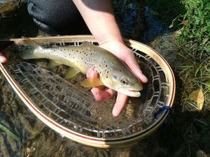 Brown Trout — Guillaume Houttemane