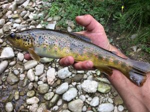 Brown Trout — Romain Cavallaro