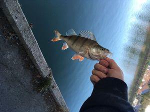 European Perch — Flox Fishing
