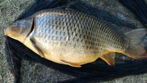 Common Carp — Jean-Louis Glaas