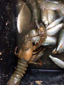 Red Swamp Crayfish — Patrice Perrin