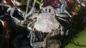 Velvet Swimming Crab — Daniel Thomas