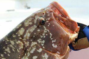 Brown Grouper — Samuel Elgrishi Moniteur et Guide de pêche