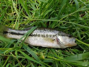 Largemouth Bass — Tom Blt