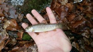 Brown Trout — Mathis Lamy