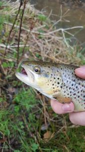 Brown Trout — Anthony  Hariot