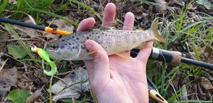 Brown Trout — Gautier Surville