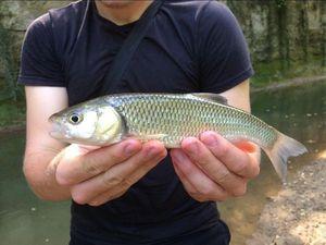 Chub — Anto CarnaFish 38