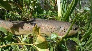 Brown Trout — Rémy Guéritée