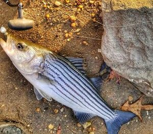 Striped Bass (Landlocked) — Vincent Lopez