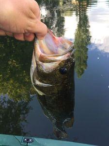 Largemouth Bass — Louis Ducrot