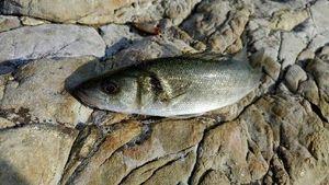 European Bass — Thibault  Dominguez