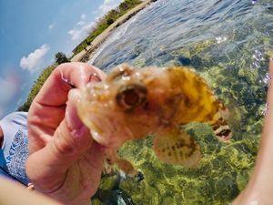 Brown Scorpionfish — Charles Testut