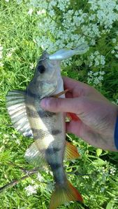 European Perch — Gauthier Simon