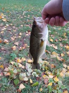 Largemouth Bass — No Stress