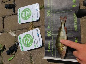 European Perch — Thomas Gac