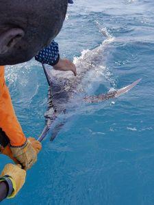 Blue Marlin (Atlantic) — Greg FishFriender