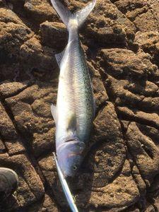 Kahawai (Australian Salmon) — Jérémy Renaudin