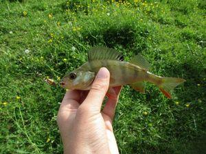 European Perch — Kr Fish