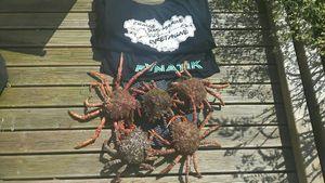 Common Spider Crab — Jean jacques faudeau