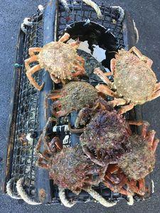 European Spider Crab — François BARBEAU