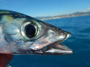 Mackerel — Mendel Frankel