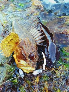 Brown Scorpionfish — Alexander Gritsienko