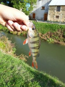 European Perch — Romain Chadeau