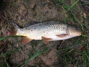 Common Carp — Mathis Morand