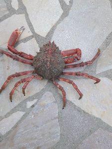 Common Spider Crab — Emeric Beskow