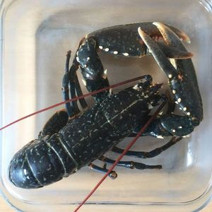 European Lobster — Julien PAYRAT