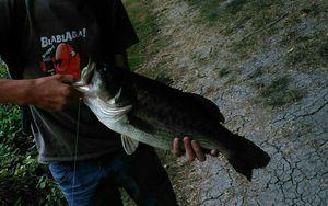 Largemouth Bass — Malo Portier