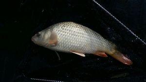 Common Carp — Christophe  Pérez