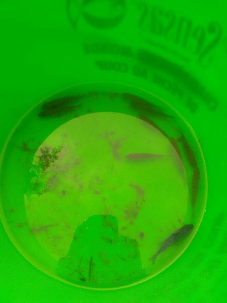 Green Sunfish by Emmanuel Perrier | 0