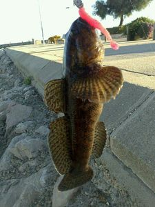 Giant Goby — Robin Grosselet--vernhes