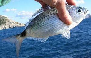 Saddled Seabream — Arno  Fishing
