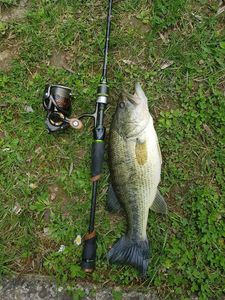Largemouth Bass — Alexis Wery