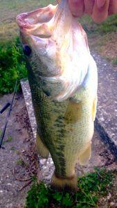 Largemouth Bass — Hugo Demolliens