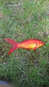 Goldfish — Paul  Arnaud