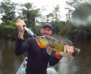 Peacock Bass ( Monoculus) — Angler's Madness (Vincent _b)