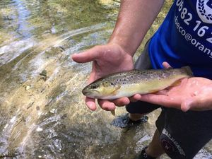 Brown Trout — Roman Judas